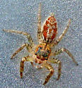 Jumping Spider - Maevia inclemens