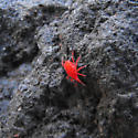 red mite on rock near intertidal zone? - Neomolgus littoralis