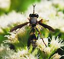 Wasp or Fly - Physocephala marginata
