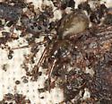 spider #21 voucher image - Cybaeus