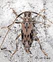 Flat-faced Longhorned Beetle - Lepturges pictus