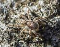 spider - Menemerus bivittatus