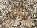 Rustic-shoulder Knot Moth - Apamea sordens