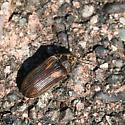 Small Brown Beetle - Vrilletta decorata