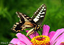 Black and Yellow Butterfly - Papilio machaon - male