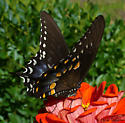 Spicebush Swallowtail? - Papilio troilus - female