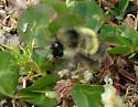 Bumble Bee - Bombus sitkensis - female