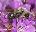 Bee - Melecta