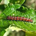 Euptoieta hegesia (Cramer) - Euptoieta hegesia