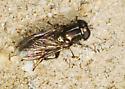 Bronze Syrphid - Eumerus - female