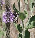 Triepeolus concavus? - Triepeolus concavus