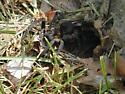 Funnel web or trap door spider? - Tigrosa aspersa