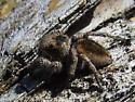 Female Jumping Spider - Habronattus calcaratus - female