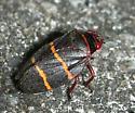 Two-lined Spittle Bug - Prosapia bicincta