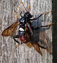 Help ID this bug - Cimbex americanus