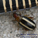 Flea Beetle - Systena blanda