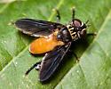 Tachinid - Trichopoda pennipes - female