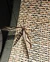 Crane Fly - Pedicia contermina - female