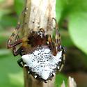 Spiny Orb Weaver - Micrathena...? - Verrucosa arenata
