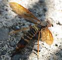 Horntail? - Tremex columba