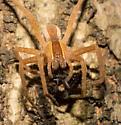 Orange-brown spider - Pisaurina mira