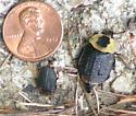 I think it's Necrophila americana - Necrophila americana