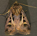 Moth - Feltia herilis