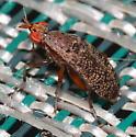 Fly - Euthycera arcuata