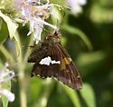 butterfly on monarda - Epargyreus clarus