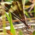 Brown Damselfly - Argia fumipennis