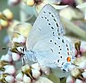 Satyrium sp. - probably California H. - Satyrium californicum - female