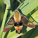 Clearwing Moth 071418 - Hemaris diffinis