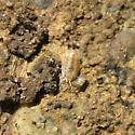 Isopoda 01