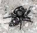 Spider to ID - Phidippus regius