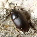 Beetle - Gondwanocrypticus platensis