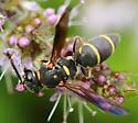 Small wasp - Parancistrocerus fulvipes