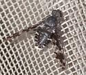 Dipteran - Anthrax irroratus