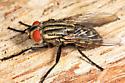 large fly - Sarcophaga - female