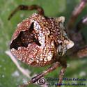 Spider 01 - Gea heptagon