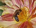 Bee 6800-6801 - Halictus ligatus