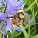 Bumble Bee- Orange Markings - Bombus rufocinctus