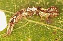 Notodontidae larva, dorsal - Schizura ipomaeae