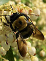 Eastern Carpenter Bee? - (Xylocopa virginica?) - Xylocopa virginica