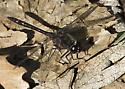 Black Meadowhawk? - Sympetrum danae - male