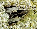 Catocala sp - Catocala ultronia