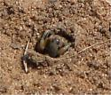 Burrowing Spider? - Geolycosa