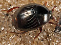 smaller histerid beetle from entrance of gopher tortoise burrow - Geomysaprinus floridae