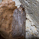 3533 - Acleris celiana