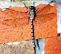 Mottled Darner - Aeshna clepsydra