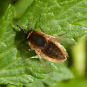Bee Fly - Sparnopolius confusus